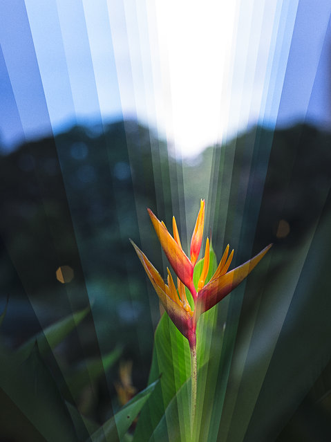 A gorgeous Heliconia tropical plant stands still as time surges around it, 2013. (Photo by Fong Qi Wei/Thoughtful Photography)