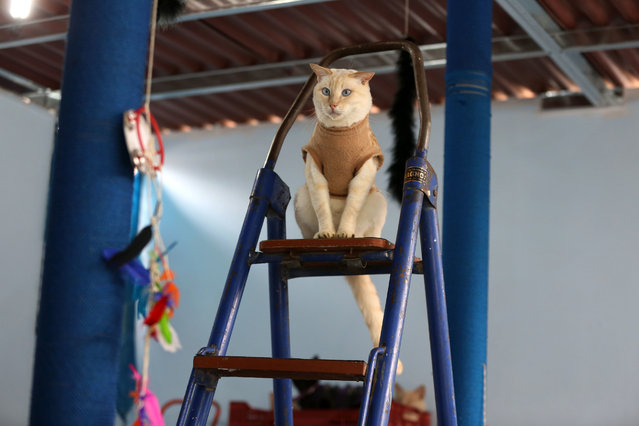 In this August 2, 2014 photo, a sick cat sits on a ladder in Maria Torero's hospice for cats with leukemia, at her home in Lima, Peru. She finds the cats in Lima's streets and markets, collecting around 60 in one market alone, and has them tested for leukemia by one of dozens of veterinarians who charge $25 per exam. (Photo by Martin Mejia/AP Photo)