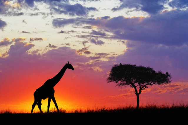 Giraffe silhouetted at sunrise at Masai Mara Game Reserve, Kenya, Africa. (Photo by Adam Jones/Dantia Delimont/Caters News/Ardea)