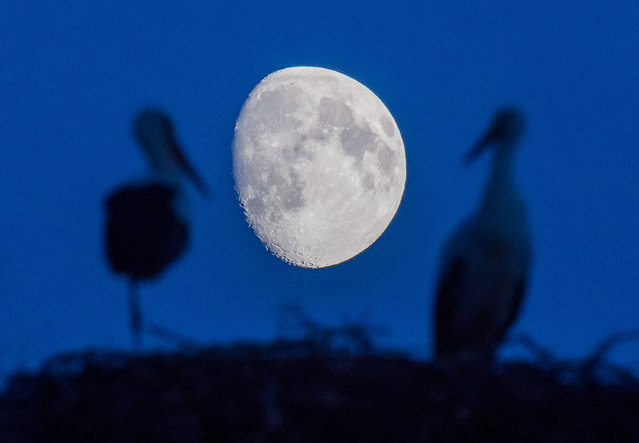A white stork couple (Ciconia Ciconia) standing in their nest in front of the waxing moon in Sieversdorf, Germany, 14 August 2016. (Photo by Patrick Pleul/AFP Photo/DPA)