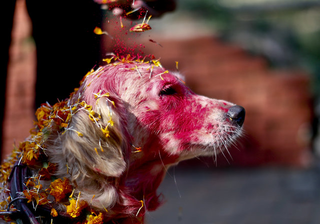 A police officer sprinkles colored powder onto a police dog at Nepal's Central Police Dog Training School as part of the Diwali festival, also known as Tihar Festival, in Kathmandu, Nepal, 22 October 2014. (Photo by Narendra Shrestha/EPA)