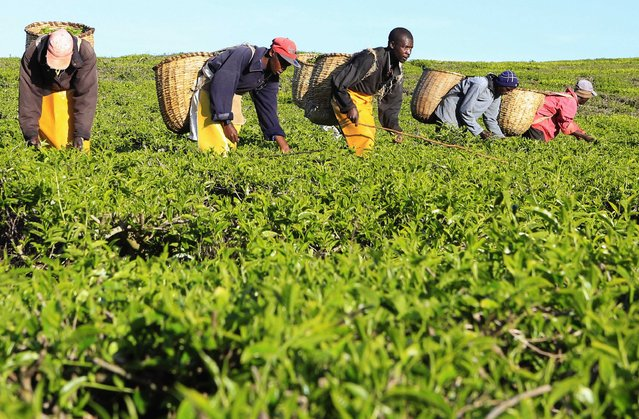 Workers pick tea leaves at a plantation in Nandi Hills, in Kenya's highlands region west of capital Nairobi, November 5, 2014. (Photo by Noor Khamis/Reuters)