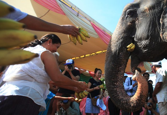 People offer bananas to elephant Sambo during a farewell ceremony in Phnom Penh November 25, 2014. According to a statement from the U.S. embassy, Sambo, the popular Cambodian elephant who provided rides to visitors in Phnom Penh for many years, retired on Tuesday to a special elephant sanctuary in Mondulkiri Province, where she and other elephants receive proper veterinary care. (Photo by Samrang Pring/Reuters)