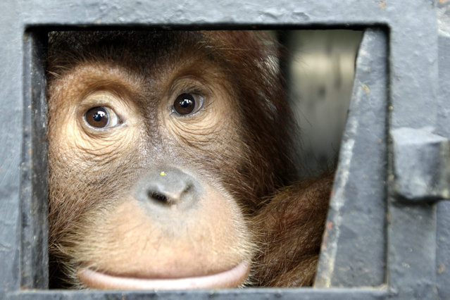 A Sumatran Orangutan looks out from its cage before being released into the wild by the Sumatran Orangutan Conservation Programme (SOCP) organization in Jantho forest, Aceh, Indonesia 21 October 2015. Sumatran orangutans (Pongo abelii) are a distinct species and listed as Endangered by the World Conservation Union (IUCN) on their Red List of Threatened Species. (Photo by Hotli Simanjuntak/EPA)