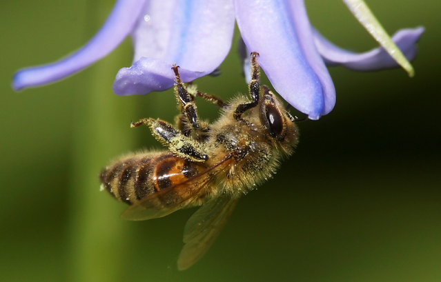 A bee covered with pollen hooks itself onto a petal of a bluebell in a garden, as the spread of the coronavirus disease (COVID-19) continues, in West London, Britain, April 23, 2020. (Photo by Toby Melville/Reuters)