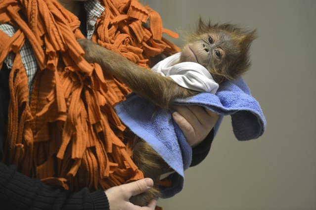 Bulu Mata, an orphaned Sumatran orangutan baby, is held by Hungarian keeper Bernadett Marschalko as they depart for Britain from the Budapest Zoo, in Budapest, Hungary, December 8, 2014. The baby's mother perished one week after Bulu Mata was born, and he was raised by keepers in the past three months. He is now transported by minibus to the Monkey World Ape Rescue Centre near Wool in Dorset, south-western England. (Photo by Attila Kovacs/EPA)