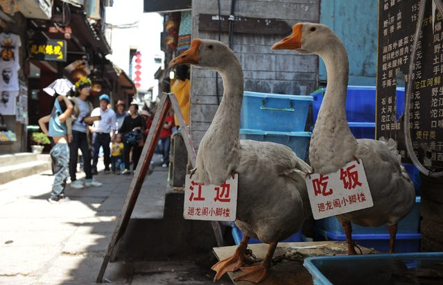 "Geese carrying advertisement boards stand in front of a restaurant as a way to attract tourists in Fenghuang county, Hunan province, May 1, 2013. The bigger Chinese characters on the boards read, ""Riverside"" (L) and ""Dining"". (Photo by Reuters/Stringer)"