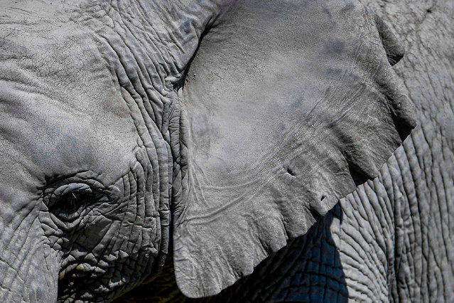 An African bush elephant is seen at the Africam Safari ecological park, in Puebla, Mexico, on January 27, 2021. The Africam Safari ecological park is part of a nature reserve where a wild animal conservation project has brought various species to life. (Photo by Pedro Pardo/AFP Photo)