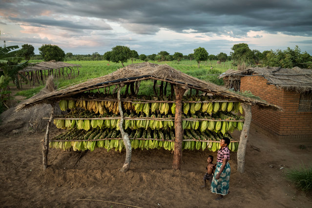 Tobacco drying. (Photo by David Levene/The Guardian)
