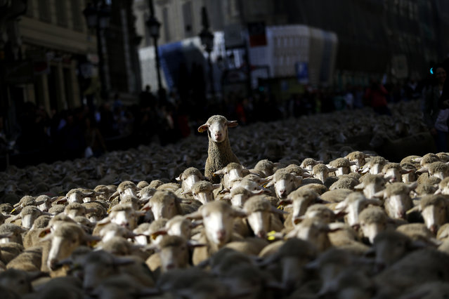 Sheep are led by shepherds through Madrid city center, Spain, Sunday, October 25, 2015. Shepherds guided a flock of around 2,000 sheep through Madrid streets in defense of ancient grazing, droving and migration rights increasingly threatened by urban sprawl and modern agricultural practices. (Photo by Francisco Seco/AP Photo)