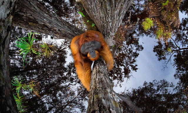 Bornean orangutan (Pongo pygmaeus). Tanjung Puting National Park, Borneo – winner of the gold and grand prizes in the 2020 world nature photography awards. (Photo by Thomas Vijayan/World Nature Photography Awards)