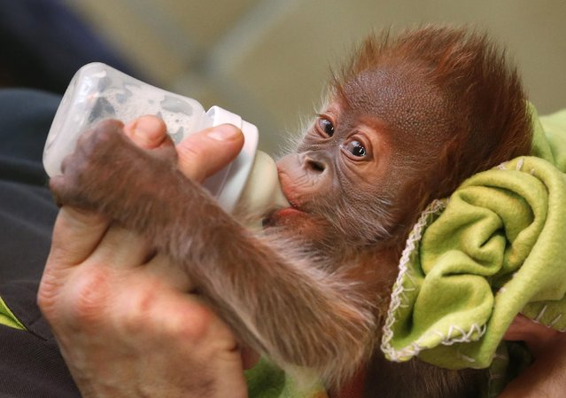 Three week old female orangutan baby Rieke is fed by a zookeeper during a presentation to the media at the Zoo in Berlin February 6, 2015. (Photo by Fabrizio Bensch/Reuters)