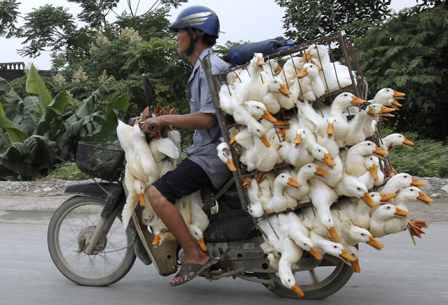A man transports ducks on a motorcycle to a market in Nam Ha province, outside Hanoi May 31, 2012. (Photo by Reuters/Kham)