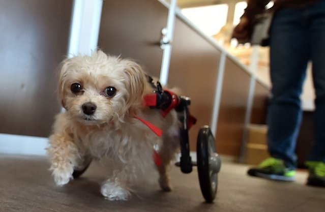 """Rin-chan"", an 8-year-old female dog who is paralyzed in her hind legs has an auxiliary wheel attached to her body to aid her walking training at the nursing facility Pet Care Service Let's in Tokyo on March 25, 2015. A Japanese law amendment in 2013 resulted in the responsibility and obligations of owners and pet suppliers being enhanced which means owners now have a responsibility to continue to care for their pets until they pass away.  (Photo by Kazuhiro Nogi/AFP Photo)"