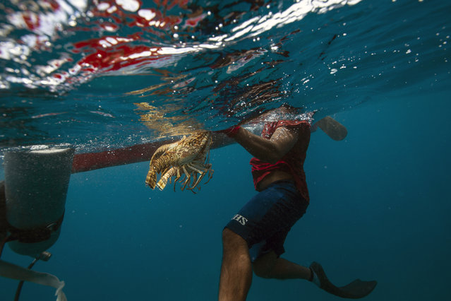 In this September 9, 2018 photo, a diver holds onto his catch of lobsters during a fishing journey in the Miskito coast near Cay Savannah, Honduras. A diver makes 75 lempiras ($3) per pound of lobster. An average 10-pound daily haul of lobster is a windfall for people in one of the most impoverished regions of the Americas, so many take the risk, and many suffer for it. (Photo by Rodrigo Abd/AP Photo)