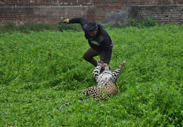 A leopard attacks a man after straying into a residential area in Jalandhar, India, Thursday, January 31, 2019. A forest official says the leopard strayed into a residential district in India and injured at least four people before it was locked up in a room. Conservator Kuldip Kumar says the leopard attacked some forest guards Wednesday when they tried to capture it using a net and at least one resident who pelted rocks at it in Jullundur city in northern Punjab state. (Photo by AP Photo/Stringer)