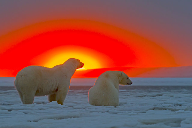 Polar Bears – In the sunset. (Photo by Sylvain Cordier/Caters News)