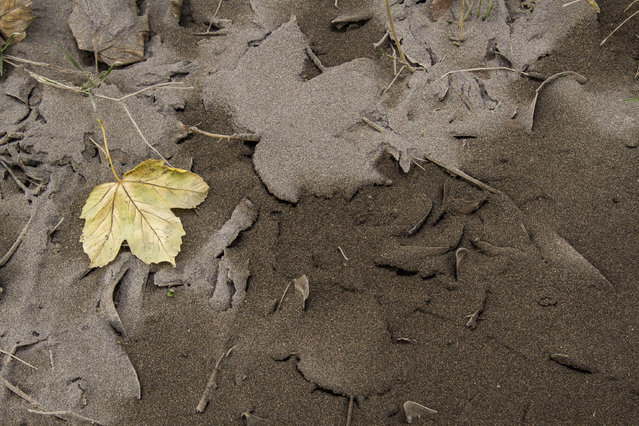 Leaves sit on ground covered by volcanic ash from Chile's Calbuco volcano in Villa La Angostura, southern Argentina, Thursday, April 23, 2015. The volcano in Southern Chile has erupted after being dormant for about half a century on Wednesday, sending a thick plume of ash and smoke several kilometers into the sky. (Photo by Federico Grosso/AP Photo)