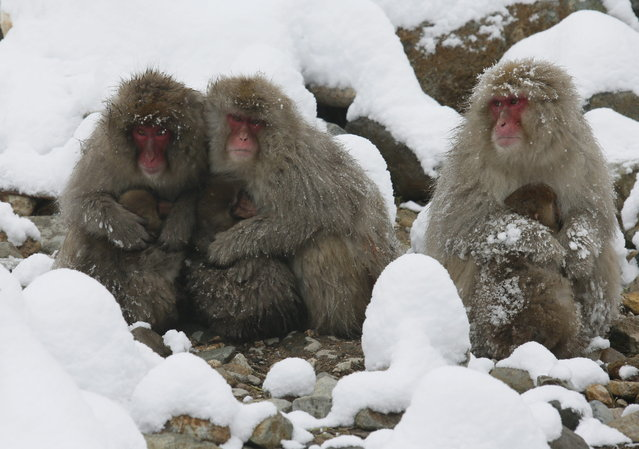 Japanese Macaque monkeys with their baby monkeys jostle to shade from snowfall at Jigokudani Monkey Park, in Yamanouchi, central Japan, 19 January 2014. (Photo by Kimimasa Mayama/EPA)