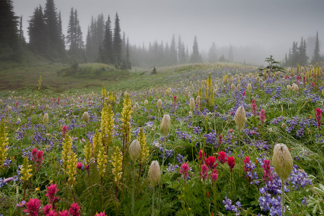 """First place, Wildflower Landscapes. """"I came across a spectacular array of summer alpine flowers on Mazama Ridge in Washington's Mount Rainier National Park, including Castilleja,Lupinus and Anemone occidentalis, all adding character and texture to the scene as if by design"""". (Photo by See Caption/The Guardian)"""