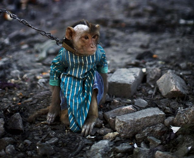 A trained monkey sits held by a leash in a village outside Rawalpindi. (Photo by Muhammed Muheisen/Associated Press)