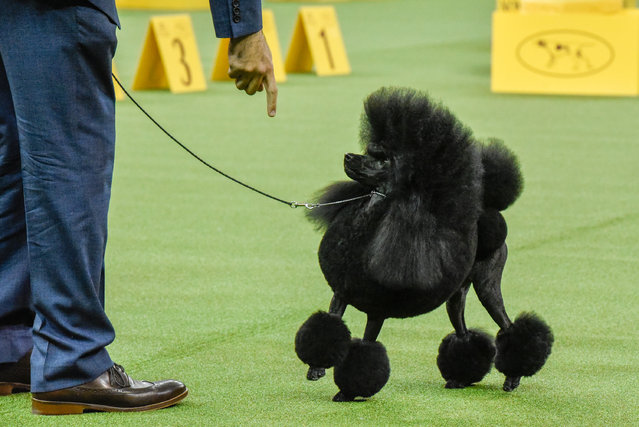 Aftin, a Miniature Poodle, wins the Non-Sporting group at the 141st Westminster Kennel Club Dog Show, in New York City, U.S. February 13, 2017. (Photo by Stephanie Keith/Reuters)