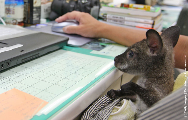 A baby wallaby