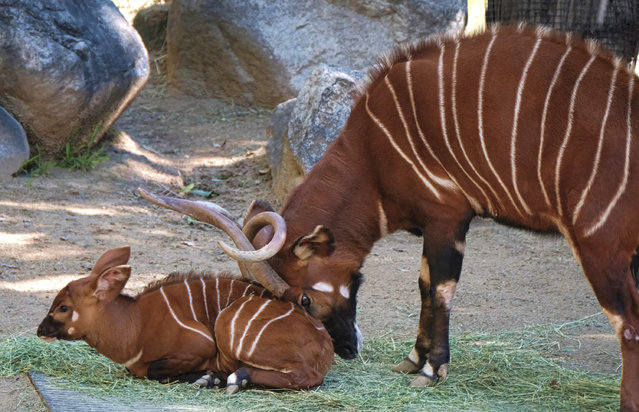 A male, Eastern bongo calf is gently pushed off a matt of fresh grass in his enclosure on the day of his debut at the Los Angeles Zoo on Thursday, February 23, 2107. The unnamed male a type of antelope found in Kenya, was born at the zoo on Jan. 20. It spent time bonding with its mother behind the scenes before being introduced to the public on Thursday. (Photo by Richard Vogel/AP Photo)