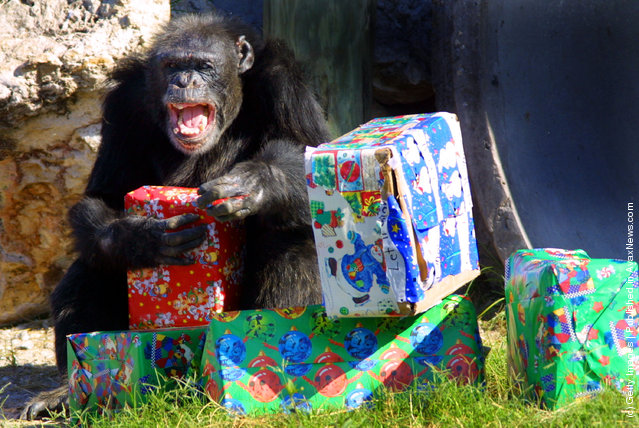A chimpanzee unwraps a present that was delivered by Santa Claus
