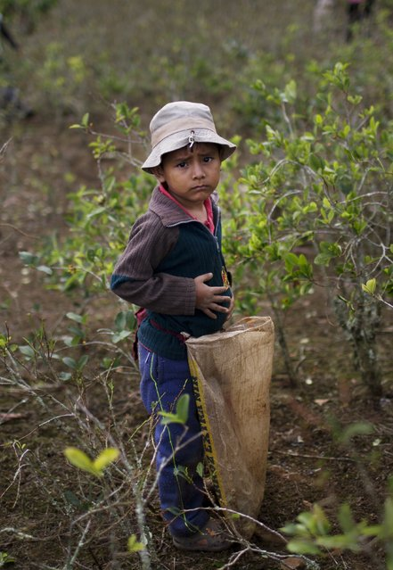 In this June 20, 2015 photo, Franco, 5, stands in coca field, helping his parents during the harvest of coca leaves in Samugari, Peru. Some 17,000 children of coca pickers have not been to classes in a month because teachers are on strike to demand that their $300 monthly salary be increased by $581. (Photo by Rodrigo Abd/AP Photo)