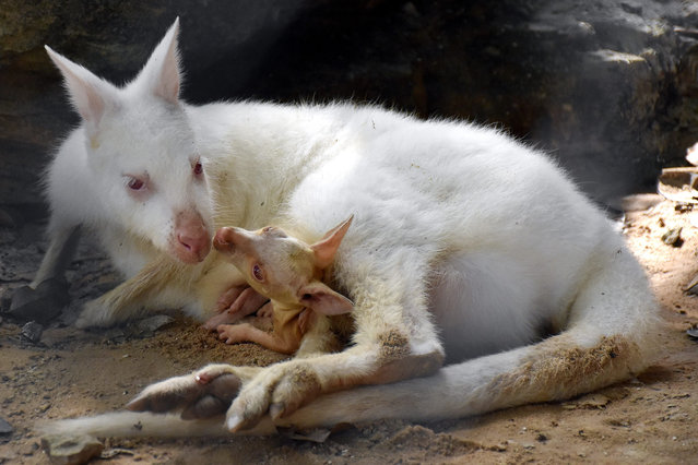 A Khon Kaen Zoo handout photo made available on 28 August 2015 shows a male baby, as yet unnamed, white albino wallaby sitting inside his mother's pouch at Khon Kaen Zoo, Khon Kaen province, Thailand, 17 August 2015. Wallabies are a small sized member of the same taxonomic family as kangaroos and are native in Australia, New Guinea and nearby islands. (Photo by EPA/Khon Kaen Zoo)