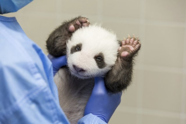 In this photo provide by the Berlin Zoo on Friday, October 18, 2019, a person holds one of the Zoo's Panda twins at the Zoo in Berlin. Zoo Berlin's panda twins, born on Aug. 31, 2019, open their eyes for the first time. (Photo by Zoo Berlin via AP Photo)