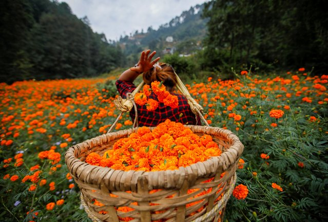 A woman fills her basket with marigold flowers, used to make garlands and offer prayers, as she plucks them before selling to the market for the Tihar festival, also called Diwali, in Kathmandu, Nepal on October 25, 2019. (Photo by Navesh Chitrakar/Reuters)