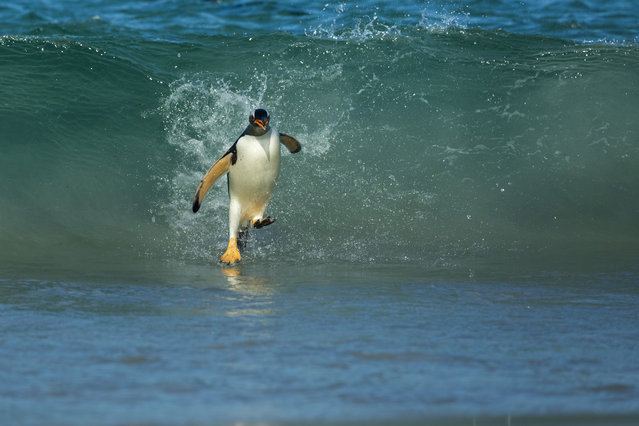 """""""Gentoo Walking On Water"""". A returning Gentoo on the shores of New Island, Falklands with a belly full of Krill for its young ones. Photo location: New Island, Falkland. (Photo and caption by Shanu Subra/National Geographic Photo Contest)"""
