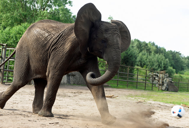 """Elephant Nelly kicks a ball as an """"animal oracle"""" to predict results of the Germany vs Ukraine match at Euro 2016, in the """"Safari Park"""" in Hodenhagen, Germany, June 10, 2016. (Photo by Fabian Bimmer/Reuters)"""