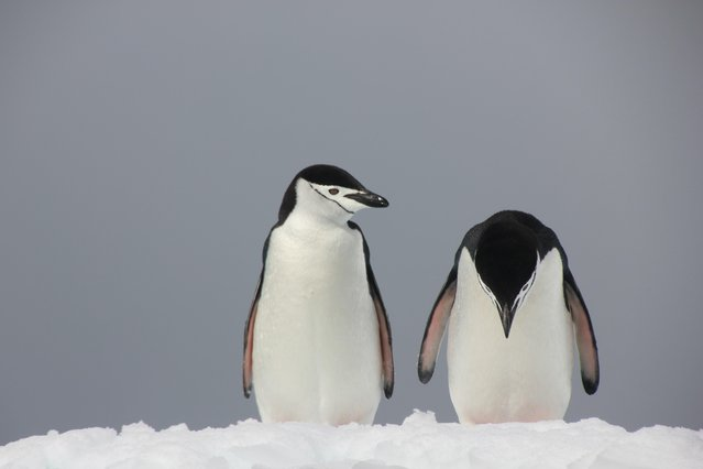 "Two penguins look troubled in Peter Odeh's ""Trouble In Parad'ice"" on December 13, 2011 in Antarctica. (Photo by Peter Odeh/CWPA/Barcroft Images)"