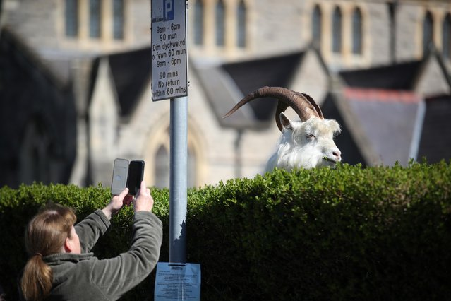 A woman takes a picture of a goat in Llandudno as the spread of the coronavirus disease (COVID-19) continues, Llandudno, Wales, Britain, March 31, 2020. Like other countries affected by the global coronavirus crisis, the United Kingdom has imposed strict social distancing measures including shop and school closures, and the authorities are asking everyone to stay at home except for essential travel. (Photo by Carl Recine/Reuters)