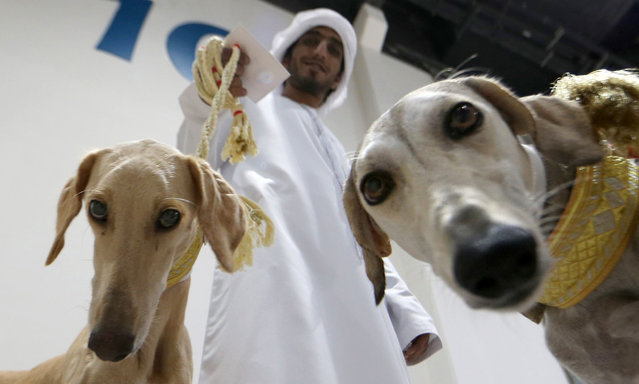 An Emirati man poses for a picture with his Saluki dogs at an Arabian Saluki beauty contest as part of the Abu Dhabi International Hunting and Equestrian exhibition (ADIHEX) in the UAE capital Abu Dhabi on September 14, 2017. (Photo by Karim Sahib/AFP Photo)