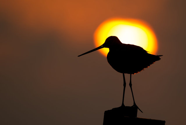 A Black-tailed Godwit (Limosa limosa) perched on a fence at dawn, Holland, Gelderland, Arkemheen polder. (Photo by Christian Biemans/Caters News/Natureinstock/Ardea)