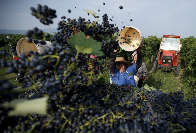 A woman empties a basket of black grapes during a harvest in the village of Kondoli, Georgia, September 11, 2015. (Photo by David Mdzinarishvili/Reuters)