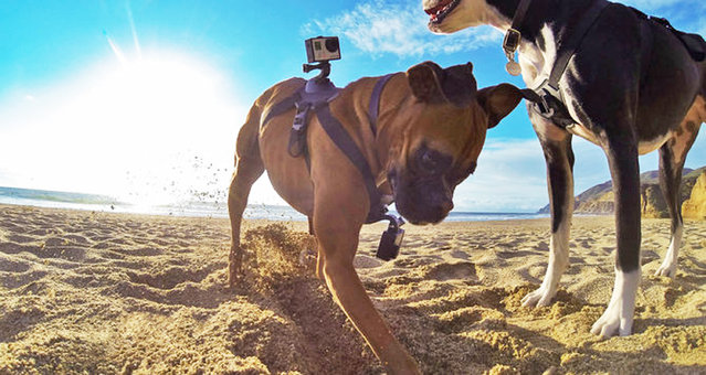 In this undated photo provided by GoPro, a dog wearing two GoPro cameras, one on his back and one on his chest, held on by what is known as a Fetch dog harness, dig into sand at an unknown location. GoPro Inc.'s Fetch dog harness fits over your dogs chest or back and holds the small, waterproof camera known for attaching to helmets, surfboards, cars and wrists to film rugged adventures. Sony, Garmin and Kurgo also make camera mounts for dogs. (Photo by AP Photo/GoPro)