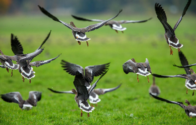 A picture made available on 21 October 2015 shows grey geese landing on a meadow in the Lewitz nature conservation area near Friedrichsmoor, Germany, 20 October 2015. The natural reserve that spans 16,800 hectares serves as a resting area for thousands of migrating birds in spring and autumn. (Photo by Jens Buettner/EPA)