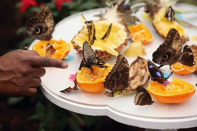 """Butterflies rest on fruit in the """"Sensational Butterflies"""" exhibition at the Natural History Museum on March 25, 2013 in London, England. The live, tropical butterfly house will be stationed on the Natural History Museum's east lawn from March 29, 2013 until September 15, 2013. (Photo by Oli Scarff)"""
