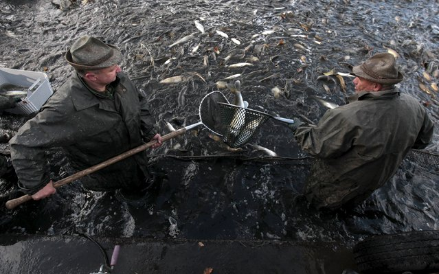 Fishermen select fish during the traditional carp haul in the village of Smrzov, near the south Bohemian town of Trebon, Czech Republic, November 2, 2015. (Photo by David W. Cerny/Reuters)