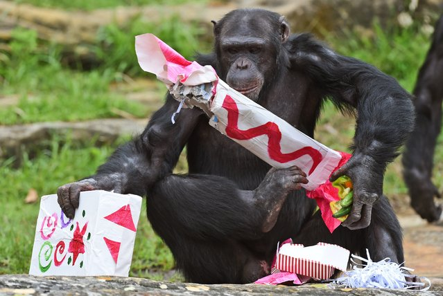 A Taronga Zoo chimpanzee gathers some Christmas presents after some gift-wrapped food treats and other tasty decorations were left inside the exhibit in Sydney on December 9, 2014. The chimpanzees were quick to pounce on the festive-themed enrichment items prepared by keepers, showing off their natural foraging skills to uncover the food inside while some seemed just as happy playing with the cardboard box packaging. (Photo by William West/AFP Photo)