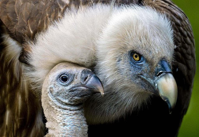A one-month-old Eurasian griffon sits next to its mother in their nest at the zoo of Duisburg, Germany, on May 3, 2013. (Photo by Federico Gambarini/Associated Press)