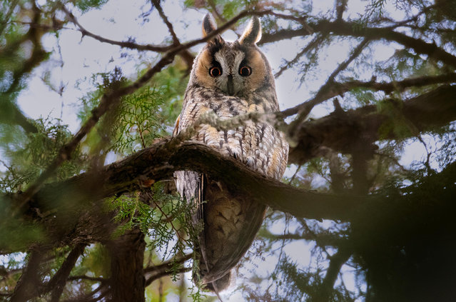 A long-eared owl at the Botanical Garden of the Southern Federal University in Rostov-On-Don, Russia on February 7, 2021. (Photo by Erik Romanenko/TASS)