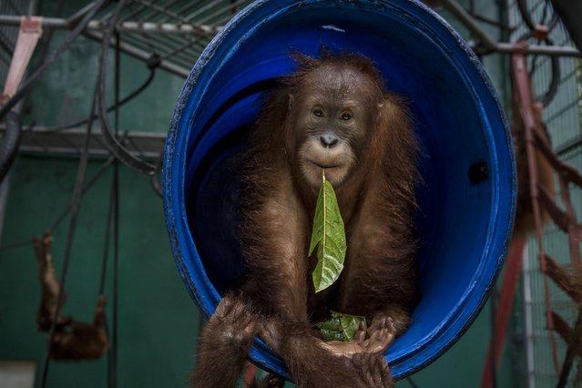 A sumatran orangutan (Pongo abelii) is seen inside a cage at Sumatran Orangutan Conservation Programme's rehabilitation center on November 11, 2016 in Kuta Mbelin, North Sumatra, Indonesia. (Photo by Ulet Ifansasti/Getty Images)