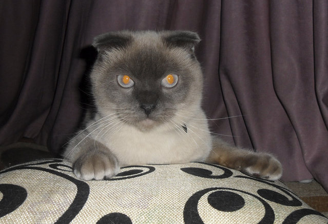 A Siamese cat named Barsik in Barnaul, The Siberian city of 650,000 people, which lies 2,900 kilometers (1,800 miles) east of Moscow, Russia, Saturday, December 19, 2015, and it seems the residents of Barnaul want Barsik the cat to be their next mayor.  An informal online poll asking the residents to express their preferences among the six official candidates and the Siamese cat named Barsik, showed the feline nabbing more than 90 percent of the vote. (Photo by AltaiOnline/AP Photo)
