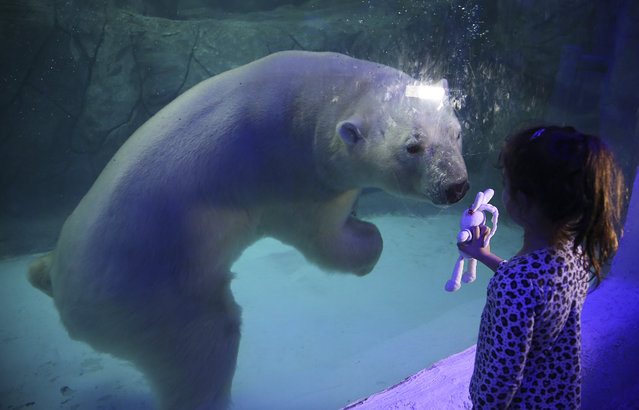 A visitor holds up her toy bunny to the aquarium glass in front of Aurora the Russian polar bear at the Sao Paulo Aquarium in Sao Paulo, Brazil, Thursday, April 16, 2015. Two Russian polar bears, Aurora and Peregrino, were moved from the Kazan Zoo and arrived in the South American country in December. After four months of adaptation the two bears made their public debut Thursday. (Photo by Andre Penner/AP Photo)